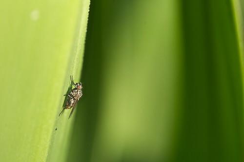 algún tipo de anthomyiidae
