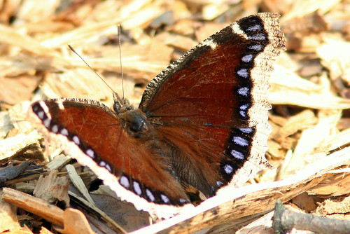 Mourning Cloak 20100412