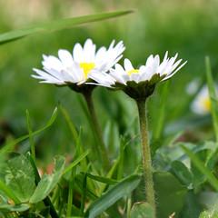 (SpaCitron) Tags: flower macro fleur duo printemps paquerette