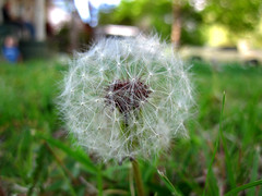 Dandelion (Court Duncan Photography) Tags: