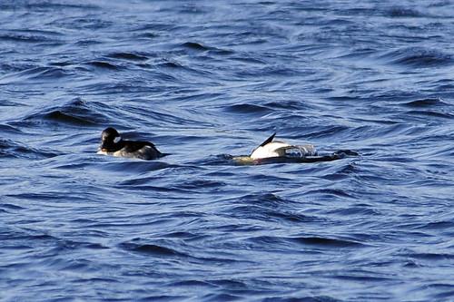 bufflehead male and female dive