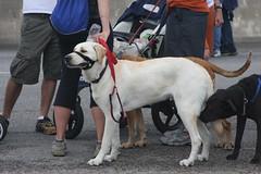 139 (kewguys) Tags: dog austin texas walk mighty kewguys