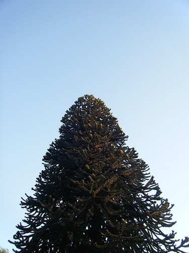 giant noble fir?