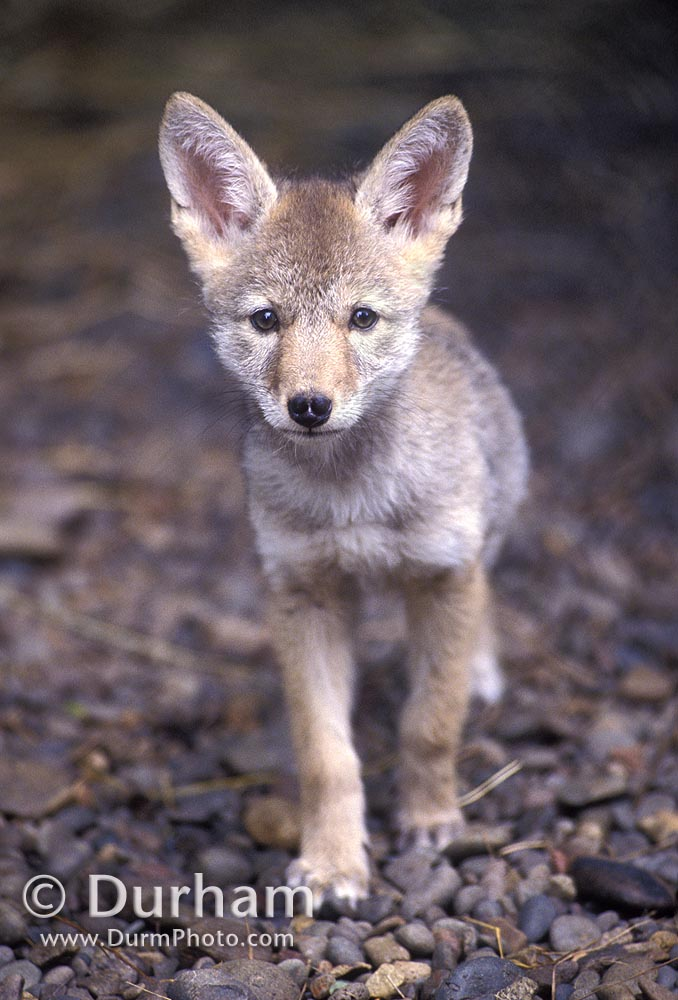 coyote pup (canis latrans)