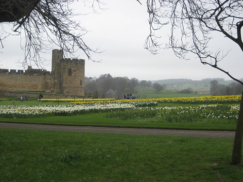 Daffodils at Alnwick Castle