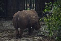 Rinoceronte negro (wilsoke) Tags: rhino blackrhino rinoceronte rinocerontenegro