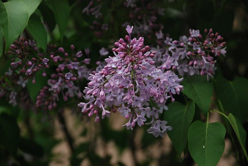 Floare de liliac
