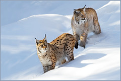 Mr. and Mrs. Lynx (hvhe1) Tags: winter sun snow nature animal cat germany mammal bayern nationalpark bravo kat wildlife sneeuw bigcat zon lynx duitsland naturpark bayerischerwald luchs beieren zoogdieren l