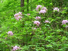 Cedarville State Forest May 2010 (krossbow) Tags: pink flowers azalea blooms blooming marylandstateparks cedarvillestateforest tz10 zs7