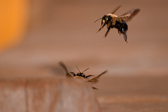 Hey Baby! (albinohawk73) Tags: nature animals flying g bees h only courtship nikond90