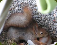 Orava muuttaa