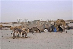 10003717 (wolfgangkaehler) Tags: africa camp people village desert donkeys donkey villages hut westafrica nomad mali timbuktu deserts nomads campsite millet tuareg nomadic saharadesert desertification timbuctu sahelzone tuaregtribe