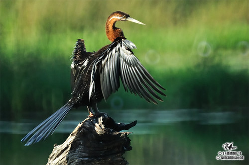 African Darter (Anhinga rufa) - High and Dry