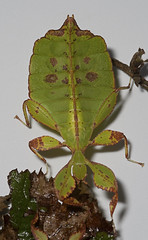 "Leaf Insect(2) • <a style=""font-size:0.8em;"" href=""http://www.flickr.com/photos/57024565@N00/4586380593/"" target=""_blank"">View on Flickr</a>"