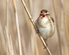 Sledgy Sings (Andrew Haynes Wildlife Images) Tags: bird singing song norfolk nwt avian sedgewarbler warber canon7d ajh2008 cleymarshnwt