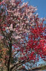 3 color sakura