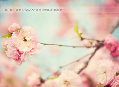 (Kimberly Chorney) Tags: flowers tree texture spring soft pretty naturallight romantic springblossoms vintagetones pinkfloweringtree