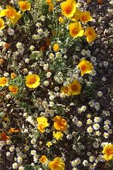 Wildflower Mix (Adventures with E&L) Tags: arizona plant flower tucson mexicangoldpoppy eschscholziacalifornicasspmexicana woollydaisy antheropeaslanosum gordonsbladderpod lesquerellagordonii whiteeasterbonnet