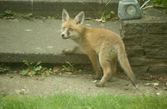 Fox cub (ashlinn.nash) Tags: people music architecture fun yahoo dance google cool interesting fantastic sad nin great expressions stages musical exotic busy help reznor trent hiphop colourful jolly musicals plain placebo ask insruments interrsting