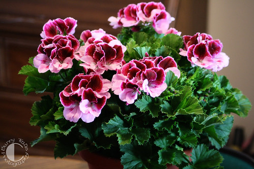 135-geranium