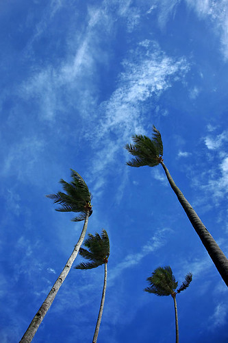 IMG_3098-w Coconut Tree