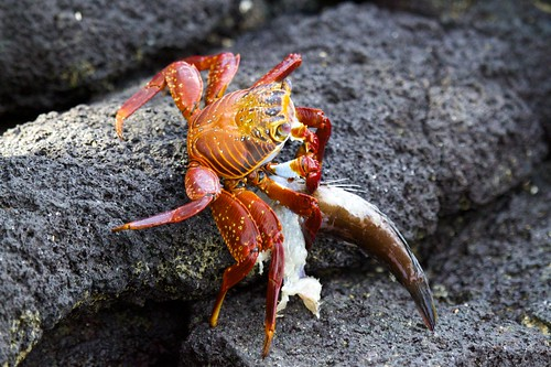 Sally Lightfoot Crab (Grapsus grapsus) Eating Fish