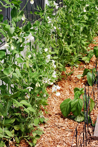 Peas and Peppers 052310