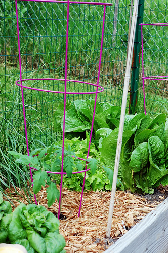 New Tomato Cages 052310-02