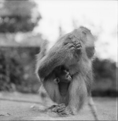 The Baby Monkey (.a_dit.) Tags: bali hairy baby mamiya tlr animal hair indonesia monkey child mother mum care c2 f28 carry 80m aditmawar
