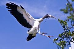 Wood Stork Carrying Nesting Material (D200-PAUL) Tags: zoo florida jacksonville stork nesting woodstork jacksonvillezoo jacksonvilleflorida newgoldenseal tplringexcellence storkwood