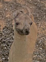 Kleine lama