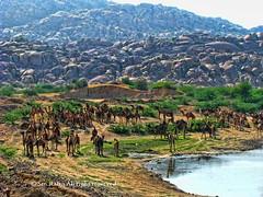 you can see a large number of camel (S.M.Rafiq) Tags: pakistan mountains beach beauty asia feeding background large number filled camel karachi camels sindh thar nagarparkar smrafiq karoonjhar oakistn gettyimagespakistanq12012