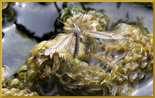 Crane Fly - Tipula lateralis