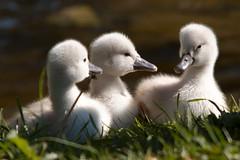 [フリー画像] 動物, 鳥類, カモ科, 白鳥・ハクチョウ, 雛・ヒナ, 201005312300