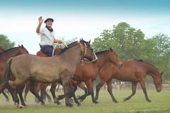 Hola! (Eduardo Amorim) Tags: horses horse southamerica argentina criollo caballo cheval caballos cavalos pferde herd cavalli cavallo cavalo gauchos pferd pampa hest hevonen chevaux gaucho  amricadosul hst gacho  campero amriquedusud provinciadebuenosaires  gachos  sudamrica sanantoniodeareco suramrica amricadelsur  areco sdamerika gregge crioulo troupeau caballoscriollos herde criollos  tropillas  pampaargentina camperos americadelsud tropilhas tropilla  crioulos cavalocrioulo americameridionale tropilha caballocriollo campeiros campeiro eduardoamorim cavaloscrioulos iayayam yamaiay pampaargentino