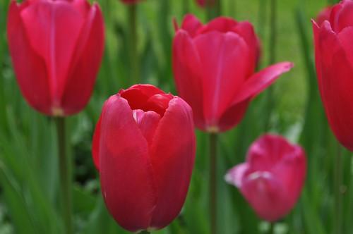 Tulips from Keukenhof