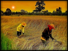 Thai women in the paddy fields (P. Suesskind) Tags: sunset nature landscape thailand asia harvest ricefields udonthani paddyfields isaan thegalaxy thaifarmer mygearandmepremium mygearandmebronze mygearandmesilver mygearandmegold mygearandmeplatinum mygearandmediamond rememberthatmomentlevel4 rememberthatmomentlevel1 rememberthatmomentlevel2 rememberthatmomentlevel3 rememberthatmomentlevel7 rememberthatmomentlevel9 rememberthatmomentlevel5 rememberthatmomentlevel6 rememberthatmomentlevel8 rememberthatmomentlevel10