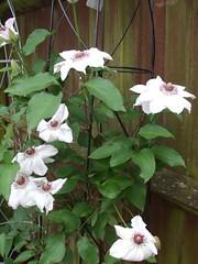 My Garden (rachelj1968) Tags: flowers clematis climbers