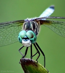 Blue Dasher (Pachydiplax longipennis) (Paul Hueber) Tags: nature canon florida dragonfly wildlife m smiley handheld seminolecounty altamontesprings odonata libellulidae centralflorida anisoptera bluedasher pachydiplaxlongipennis odonate musicarver happydragonflyday