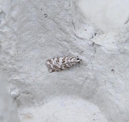 Scoparia pyralella