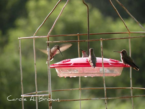 Hummingbirds in the Wildlife Garden