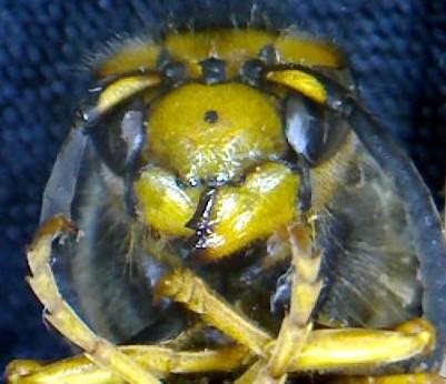 wasp face 3