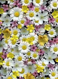 30130 Chrysanthemum leucanthemum, Anemone canadensis, Kolkwitzia amabilis, Weigela florida, Rhododendron luteum, Ranunculus acris