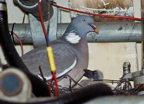 Woodpigeon and Chick
