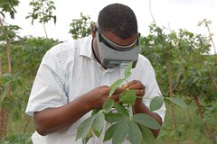 Scientist examines cassava leaves for pests