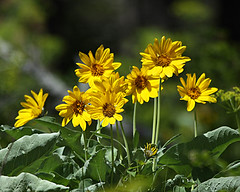 Arrowleaf Balsamroot (bigskywild) Tags: winter summer brown white black mountains green fall nature water beautiful yellow spectacular spring scenery montana colorful nye tan rivers sunflower wildflowers balsamroot balsamorhizasagittata arrowleafbalsamroot stillwatercounty bigskywild