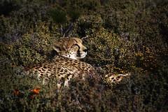Relax time.. (P.Colom) Tags: canon la gato felino elegante sudafrica jirafa guepardo