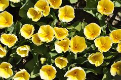 Beauty From Above (Mijn Focus Fotografie) Tags: flowers holland green yellow bulb groen heart tulips many nederland tulip netherland lente region geel bloemen bollen weiland 2010 tulpen bloem tulp bollenstreek bladeren streek hillegom