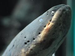 Electric eel (Sibylle Stofer) Tags: fish animal animals zoo aquarium switzerland tiere nikon zurich fisch zürich tier electriceel d90 zitteraal electrophoruselectricus actinoperygii 201006082640