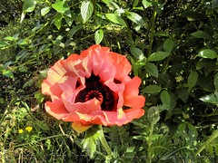 Poppy 1/3